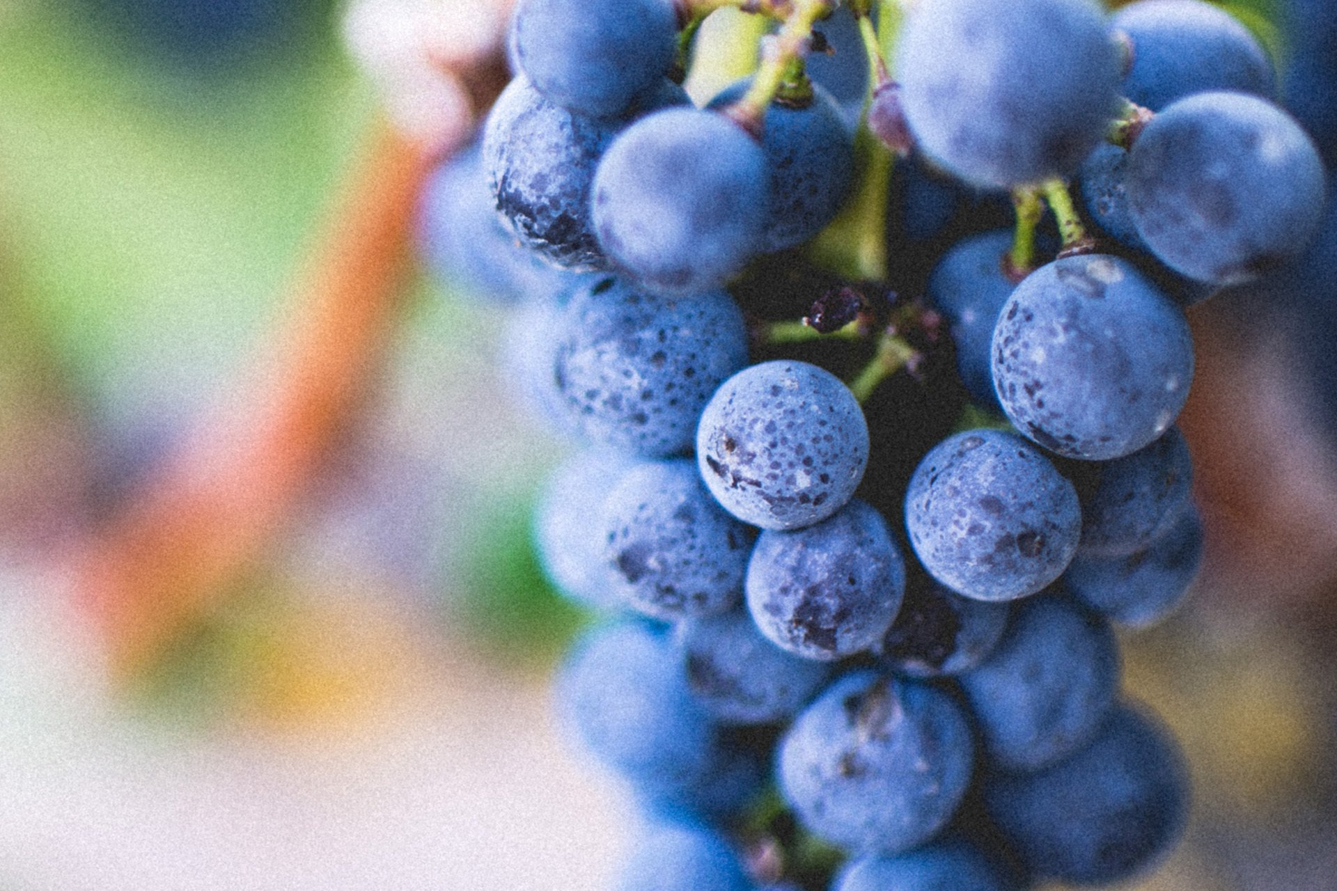 Close up of dark grapes