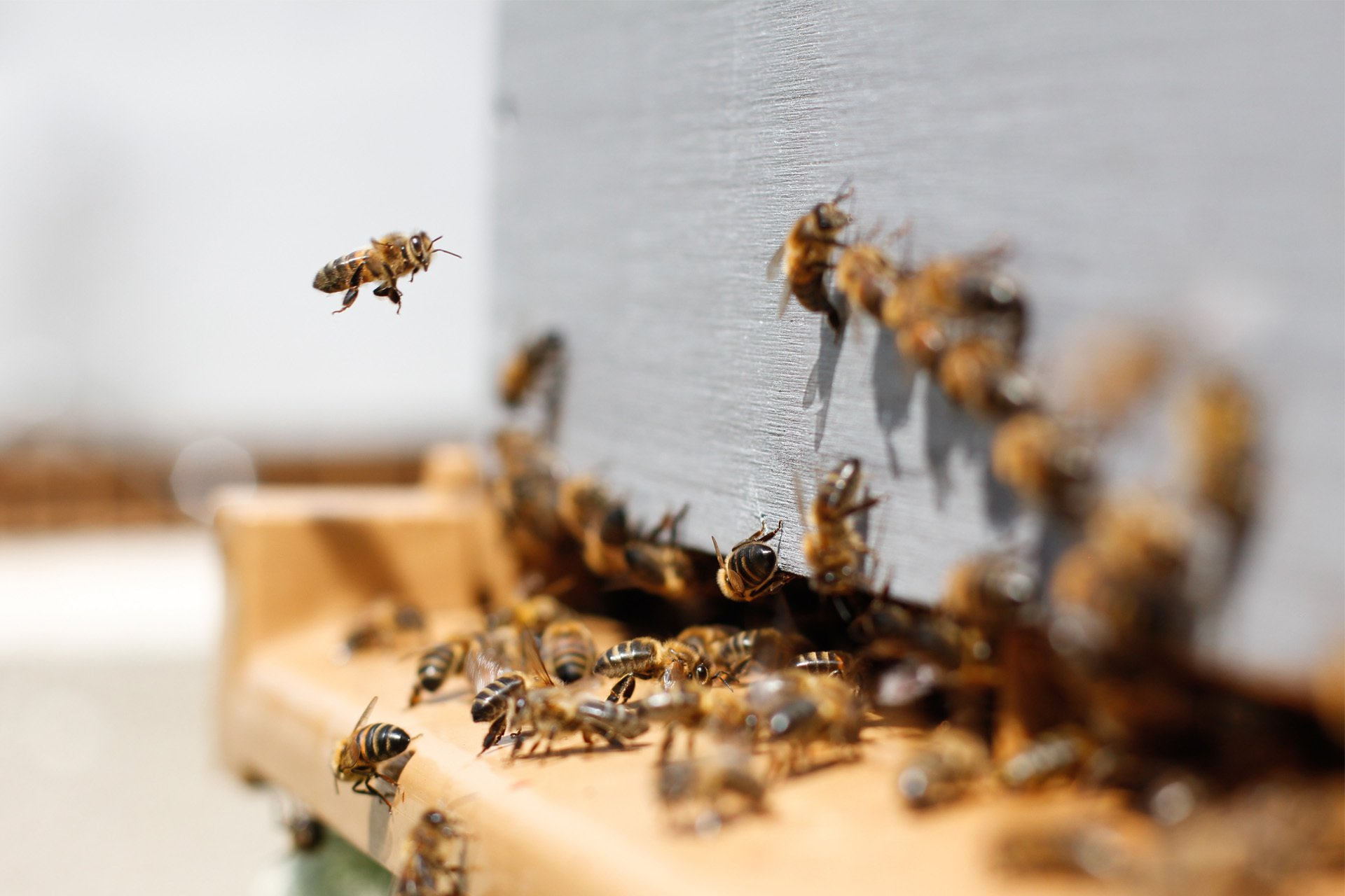Close up of bees entering a hive